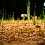 【夏野菜情報】アスパラガスの成長スピード、実はハンパなかった!!